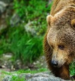 ours brun pyrénées