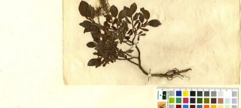 ramond herbier botanique