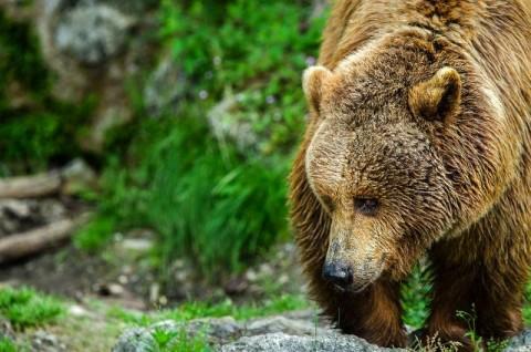 hulot réintroduction ours pyrénées