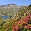 Rhododendrons en fleur - Randonnée Cerdagne
