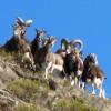 Mouflons - Massif du Carlit