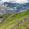 Iris des Pyrénées et cirque de Gavarnie