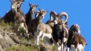 mouflons massif puymorens